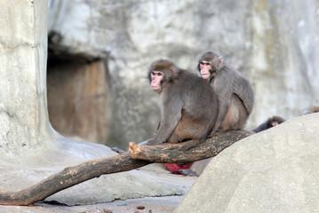 couple de singe