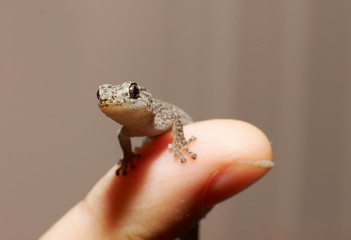 gecko on finger