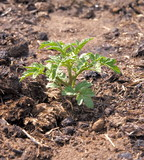 small young tomato bush growing in compost poster