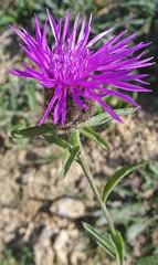 fleur de pissenlit2