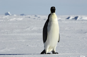 emperor penguin in icescape