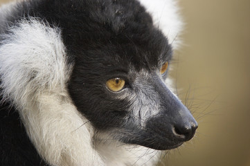 lemur profile