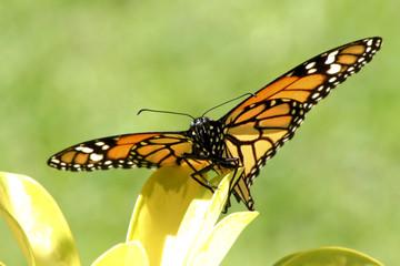 mariposa monarca con las alas estendidas