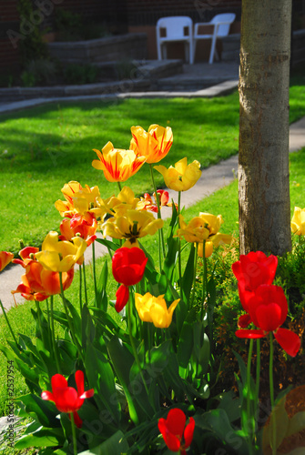 tulips at a house