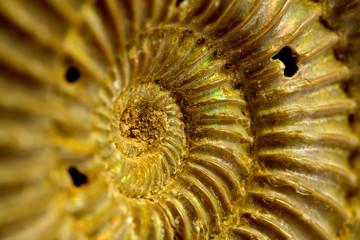 fossile di ammonite