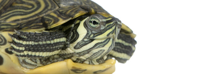 tortue d'urugay - acanthochelys
