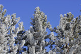 frost covered pine trees poster