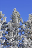 frost covered pine tree poster