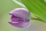 lila tulpe poster