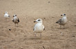 seagulls diversity