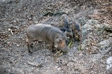 momma and baby warthogs