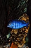 cichlid fish in aquarium poster