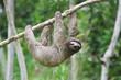 sloth in panama - 2564137