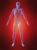 menschliche anatomie mit herz poster