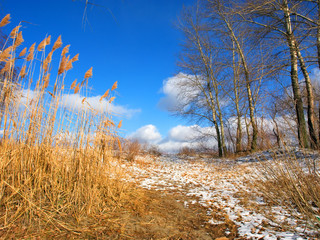 winter rush, poplars and skies