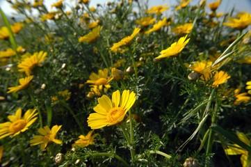 bush of yellow flowers – senecio
