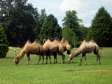 camels in the zoo poster