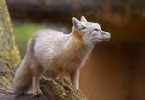 corsac fox poster