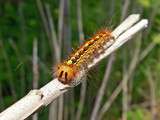 caterpillar of gypsy moth 2 poster