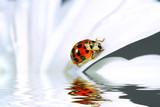 little ladybug on daisy poster