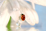 ladybug on white petal with water reflection poster