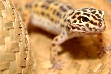 leopard gecko - 2