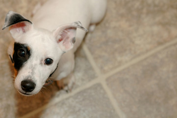 jack russell terrier - 8