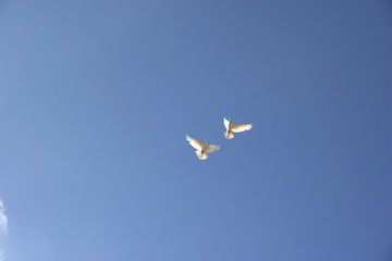 two flying dove