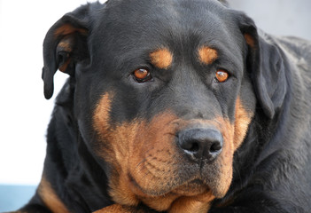 portrait of a rottweiler
