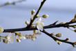 hawthorn spring flowers #1