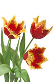 bouquet of three red  tulips with fringed petals e poster