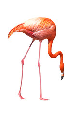 red caribbean flamingo seeking the ground