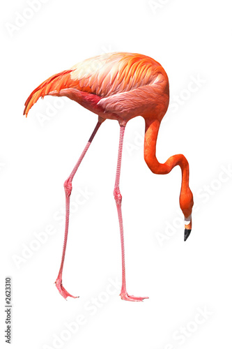 Foto op Aluminium Flamingo red caribbean flamingo seeking the ground