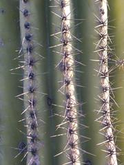 saguaro catcus