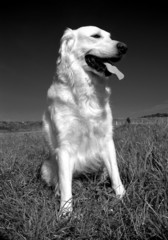 golde dog b&w