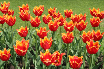 red tulips in the park.
