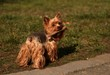 dog yorkshire terrier carrying a piece of wood