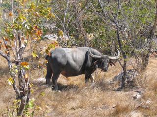 wild buffalo, komodo island, indonesia
