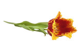 red  tulip with petals fringed by yellow poster