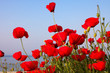 red poppies and blue sky and sea