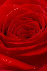 abstract background. a rose with droplets water.