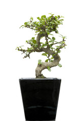 home bonsai on white