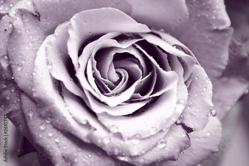 Leinwandbild Motiv rose