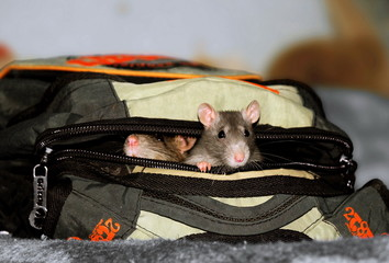 rats in a backpack