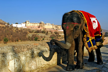 india, jaipur: an elephant in front of jaigarh fort