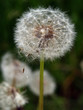 dandelion head on the wind