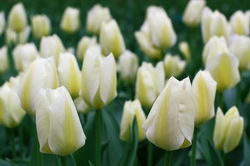 many white tulips
