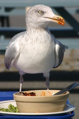 a seagull helping himself to leftovers