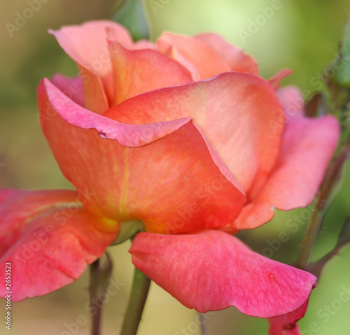 peach-red rose