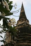 plumeria with wat chedi, ayutthaya thailand poster